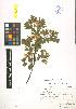 (Crataegus pseudoheterophylla - LE-Za-09-3)  @11 [ ] CreativeCommons - Attribution Non-Commercial No Derivatives (2012) Roman Ufimov Komarov Botanical Institute, RAS