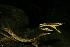 (Oxybelis aeneus - VD009)  @11 [ ] Copyright (2011) CORBIDI Centro de Ornitologia y Biodiversidad