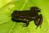 (Hyloxalus elachyhistus - VD045)  @11 [ ] Copyright (2011) CORBIDI Centro de Ornitologia y Biodiversidad