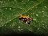 (Euspondylus spinalis - YC-105)  @11 [ ] Copyright (2011) CORBIDI Centro de Ornitologia y Biodiversidad