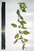 (Calceolariaceae - CORBIDI PL T-410)  @11 [ ] Copyright (2010) CORBIDI Centro de Ornitologia y Biodiversidad