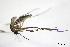 (Aedes serratus - CUL_0030)  @11 [ ] CreativeCommons - Attribution (2013) Rahuel Chan Instituto Tecnologico de Chetumal