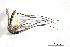 (Aedes angustivittatus - CUL_0057)  @11 [ ] CreativeCommons - Attribution (2013) Rahuel Chan Instituto Tecnologico de Chetumal