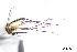 (Aedes angustivittatus - CUL_0062)  @14 [ ] CreativeCommons - Attribution (2013) Rahuel Chan Instituto Tecnologico de Chetumal