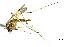 (Aedes fulvus - CUL_0081)  @11 [ ] CreativeCommons - Attribution (2013) Rahuel Chan Instituto Tecnologico de Chetumal