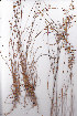 (Juncus dregeanus - AMM5862)  @11 [ ] No Rights Reserved  Unspecified Unspecified