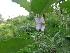 (Solanum melongena - MP1295)  @11 [ ] Copyright (2013) PHCDBS Paul Hebert Centre for DNA Barcoding and Biodiversity Studies