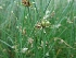 (Cyperus - LNP70)  @11 [ ] C (2013) PHCDBS Paul Hebert Center for DNA Barcoding & Biodiversity Studies