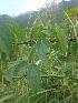 (Dioscorea cirrhosa - MP1614)  @11 [ ] Copyright (2013) PHCDBS Paul Hebert Centre for DNA Barcoding and Biodiversity Studies