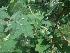 (Solanum viarum - MP1657)  @11 [ ] Copyright (2013) PHCDBS Paul Hebert Centre for DNA Barcoding and Biodiversity Studies