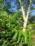 (Ailanthus excelsa - MP1863)  @11 [ ] Copyright (2014) PHCDBS Paul Hebert Centre For DNA Barcoding And Biodiversity Studies