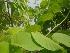 (Argyreia setosa - MP2229)  @11 [ ] C (2014) PHCDB Paul Hebert Centre For DNA Barcoding And Biodiversity Studies