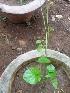 (Dioscorea bulbifera - MP2242)  @11 [ ] C (2014) PHCDB Paul Hebert Centre For DNA Barcoding And Biodiversity Studies
