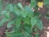 (Elaeagnus latifolia - MP2302)  @11 [ ] C (2014) PHCDB Paul Hebert Centre For DNA Barcoding And Biodiversity Studies