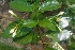 (Tabernaemontana divaricata - MP2344)  @11 [ ] C (2014) PHCDB Paul Hebert Centre For DNA Barcoding And Biodiversity Studies