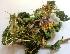 (Solanum virginianum - MP2814)  @11 [ ] C (2014) PHCDBS Paul Hebert Centre For DNA Barcoding And Biodiversity Studies