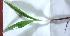 (Hemidesmus - MP2940)  @11 [ ] C (2014) PHCDBS Paul Hebert Centre For DNA Barcoding And Biodiversity Studies