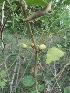 (Solanum Khasianum - MP216)  @11 [ ] Copyright (2013) PHCDBS Paul Hebert Centre for DNA Barcoding and Biodiversity Studies