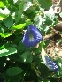 (Clitoria - MP272)  @11 [ ] Copyright (2013) PHCDBS Paul Hebert Centre for DNA Barcoding and Biodiversity Studies