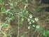 (Pimpinella - MP633)  @11 [ ] Copyright (2352) PHCDBS Paul Hebert Centre for DNA Barcoding and Biodiversity Studies