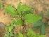 (Passiflora incarnata - TMPA137)  @11 [ ] Copyright (2014) PHCDBS PAUL HEBERT CENTRE FOR DNA BARCODING AND BIODIVERSITY STUDIES