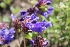 (Dracocephalum - UNKAR7089)  @11 [ ] by-nc (2014) Unspecified Karlsruhe Institute of Technology, Botanical Garden