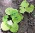 (Dioscorea esculenta - AU-DIO-7)  @11 [ ] Copyright (c) (2013) Neha Nimbhorkar Sant Gadge Baba Amaravati university
