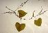 (Dioscorea bulbifera L - AU-DIO-5)  @11 [ ] Copyright (c) (2013) Neha Nimbhorkar Sant Gadge Baba Amaravati university
