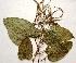 (Dioscorea oppositifolia - AU-DIO-3)  @11 [ ] Copyright (c) (2013) Neha Nimbhorkar Sant Gadge Baba Amaravati university