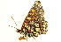  (Euphydryas chalcedona hennei - BIOUG00719-G10)  @13 [ ] CreativeCommons - Attribution Non-Commercial Share-Alike (2011) BIO Photography Group Biodiversity Institute of Ontario