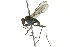  (Melanderia - CNC DIPTERA 163126)  @11 [ ] CreativeCommons - Attribution Non-Commercial Share-Alike (2012) CNC/BIO Photography Group Biodiversity Institute of Ontario