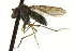  (Sympycninae - CNC DIPTERA 163224)  @13 [ ] CreativeCommons - Attribution Non-Commercial Share-Alike (2012) CNC/BIO Photography Group Biodiversity Institute of Ontario