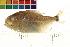 (Serrasalmus cariba - OL-0180)  @14 [ ] CreativeCommons - Attribution Non-Commercial Share-Alike (2009) Unspecified Biodiversity Institute of Ontario