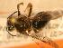 ( - JBWM0306564)  @13 [ ] Copyright (2008) Unspecified J.B. Wallis Museum of Entomology, University of Manitoba