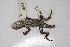 (Sceloporus olivaceus - MCZ Herp R-136293)  @11 [ ] Copyright (2013) Unspecified Biodiversity Institute of Ontario