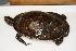 (Pseudemys floridana peninsularis - MCZ Herp R-166766)  @11 [ ] Copyright (2013) Unspecified Biodiversity Institute of Ontario