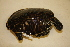 (Pseudemys peninsularis - USNM 310137)  @11 [ ] Copyright (2013) Unspecified Biodiversity Institute of Ontario