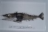 (Chionobathyscus - si280n2119)  @13 [ ] Copyright (2008) MNHN-CEAMARC Muséum national d'Histoire naturelle, CEAMARC