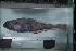 (Trematomus - si85n492)  @13 [ ] Copyright (2008) MNHN-CEAMARC Muséum national d'Histoire naturelle, CEAMARC