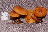  (Gymnopilus lepidotus - RLC41)  @11 [ ] CreativeCommons - Attribution (2010) Bryn Dentinger Unspecified