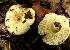 (Russula brevipes complex sp. 2 - GO-2008-76)  @11 [ ] Copyright (2008) Roberto Garibay-Orijel Universidad Nacional Autonoma De Mexico