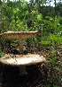  (Amanita multisquamosa - GO-2009-009)  @11 [ ] Copyright (2009) Roberto Garibay-Orijel Universidad Nacional Autonoma De Mexico