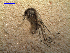 (Aedes albifasciatus - MACN-Bar-Ins-ct 03516)  @14 [ ] Copyright (2012) MACN MACN
