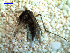 (Aedes scapularis - MACN-Bar-Ins-ct 03710)  @13 [ ] Copyright (2012) MACN MACN