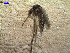 (Aedes scapularis - MACN-Bar-Ins-ct 03735)  @14 [ ] Copyright (2012) MACN MACN