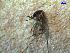 (Aedes scapularis - MACN-Bar-Ins-ct 03763)  @13 [ ] Copyright (2012) MACN MACN