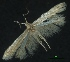 (Coleophora klimeschiella - 1209626C25Sep1997)  @15 [ ] CreativeCommons - Attribution Non-Commercial Share-Alike (2012) Eric LaGasa Washington State Department of Agriculture