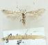 (Coleophora ispartae - MM21638)  @14 [ ] CreativeCommons - Attribution Non-Commercial (2012) Marko Mutanen University of Oulu