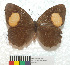  (Phycopedaliodes - MHNC-ELR-BAR 0102)  @11 [ ] CreativeCommons - Attribution Non-Commercial (2018) Arturo Mu&ntilde;os Saravia Museo de Historia Natural Alcide d&#039;Orbigny