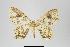 (Larentiinae - ID 14964)  @18 [ ] Copyright (2014) Gunnar Brehm Institut fuer Spezielle Zoologie und Evolutionsbiologie, Friedrich-Schiller Universität Jena